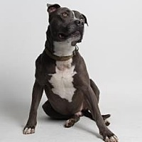 American Staffordshire Terrier Mix Dog for adoption in Santa Paula, California - Cash