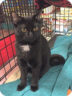 Domestic Shorthair Kitten for adoption in Rochester, Minnesota - Daisy