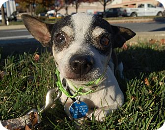 Chihuahua Mix Dog for adoption in Wilmington, Delaware - Prince