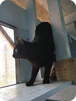Domestic Shorthair Kitten for adoption in Savannah, Georgia - Batman