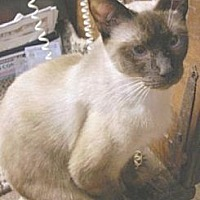 Domestic Shorthair Cat for adoption in Miami, Florida - Sky