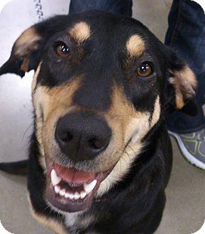 Golden Retriever/German Shepherd Dog Mix Dog for adoption in Georgetown, Kentucky - Callie