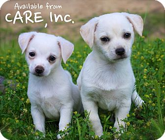 Chihuahua/Terrier (Unknown Type, Small) Mix Puppy for adoption in Albany, New York - Puppies!