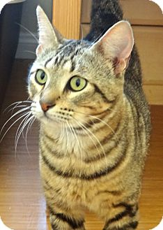 Domestic Shorthair Cat for adoption in Escondido, California - Tuukka