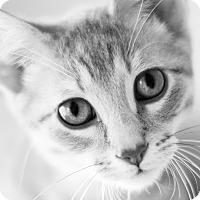 Adopt A Pet :: Bean - Chicago, IL