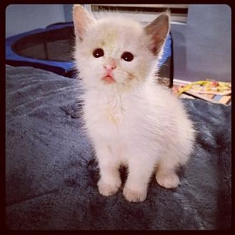 American Shorthair Cat for adoption in Los Angeles, California - More kittens!!