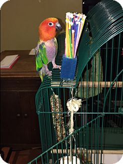 Conure for adoption in Sylmar, California - Timmie