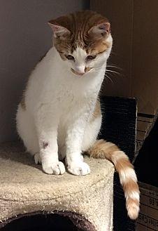 Domestic Mediumhair Cat for adoption in Loogootee, Indiana - Tazz