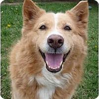Labrador Retriever/Shepherd (Unknown Type) Mix Dog for adoption in Grayslake, Illinois - Rodeo
