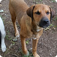 Hound (Unknown Type)/Redtick Coonhound Mix Dog for adoption in south plainfield, New Jersey - Ted
