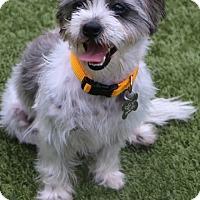 Adopt A Pet :: Coconut - Bedminster, NJ
