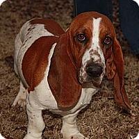 Adopt A Pet :: Anna Lee (Esther) - Brattleboro, VT