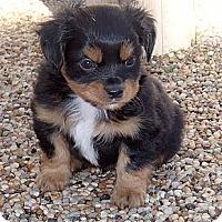 Adopt A Pet :: Diesel - La Habra Heights, CA