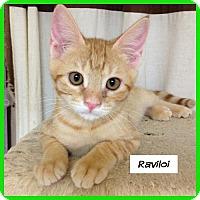 Adopt A Pet :: Ravioli - Miami, FL