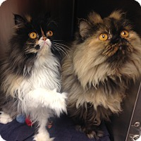 Adopt A Pet :: Brinkley - Newport Beach, CA