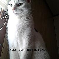 Domestic Shorthair Cat for adoption in Brandon, Florida - Sally