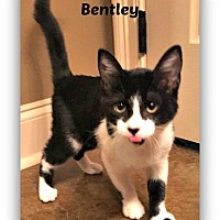 Domestic Shorthair Cat for adoption in Baton Rouge, Louisiana - Bentley