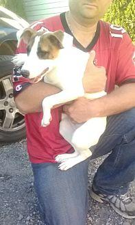 Jack Russell Terrier/Collie Mix Dog for adoption in Staunton, Virginia - Caitlynn