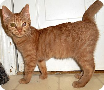 Domestic Shorthair Kitten for adoption in Chattanooga, Tennessee - Fiji