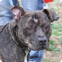 Adopt A Pet :: Tank (Neutered) - Marietta, OH