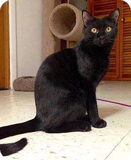Domestic Shorthair Kitten for adoption in River Edge, New Jersey - Obsidian