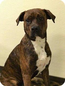 Boxer/Rottweiler Mix Dog for adoption in Lewistown, Pennsylvania - Tiarrah