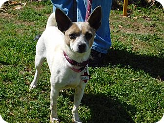 Chihuahua/Jack Russell Terrier Mix Dog for adoption in Holliston, Massachusetts - Zoey