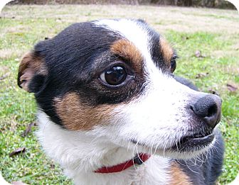 Fox Terrier (Toy)/Chihuahua Mix Dog for adoption in Mocksville, North Carolina - Tia