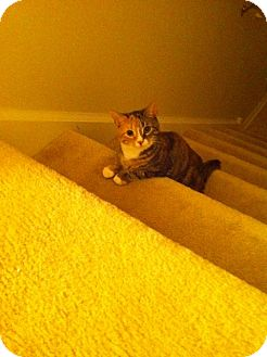 Domestic Shorthair Cat for adoption in West Dundee, Illinois - Penny