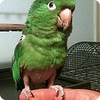 Adopt A Pet :: Chico - Lenexa, KS