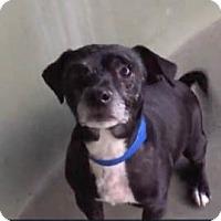 Adopt A Pet :: Obi-wan - Los Angeles, CA