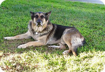 German Shepherd Dog Mix Dog for adoption in Santa Monica, California - King