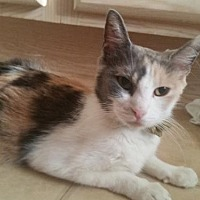 Adopt A Pet :: Patches - Surprise, AZ