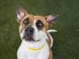 Basset Hound/Bulldog Mix Dog for adoption in Beverly Hills, California - Carmen