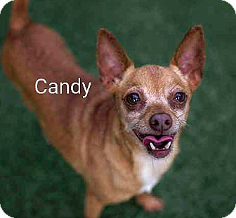 Chihuahua Mix Dog for adoption in Encinitas (San Diego), California - Candy