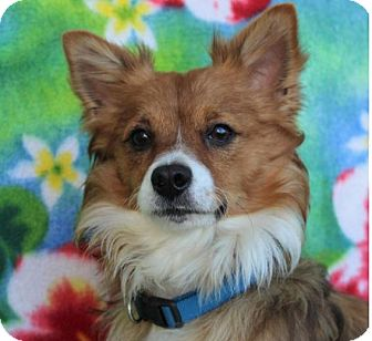 Corgi/Chihuahua Mix Dog for adoption in Red Bluff, California - TEDDY