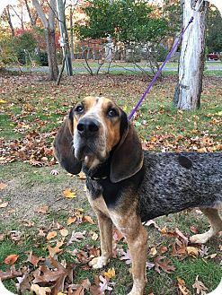 Bluetick Coonhound Mix Dog for adoption in Shelter Island, New York - bonnie