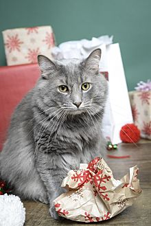 Domestic Longhair Cat for adoption in Whitehall, Pennsylvania - Seymour