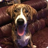 Labrador Retriever/Boxer Mix Puppy for adoption in Hillsboro, Illinois - Hannah
