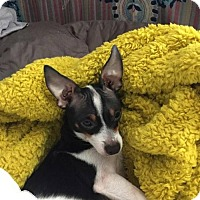 Adopt A Pet :: Fitz,  rat terrier and fox terrier mix - Arlington, WA