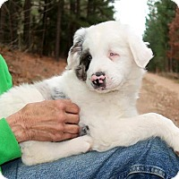 Australian Shepherd/Labrador Retriever Mix Puppy for adoption in Burbank, Ohio - Levi