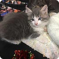 Adopt A Pet :: Belvedere - Cerritos, CA