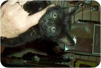 Domestic Mediumhair Kitten for adoption in Harriman, New York - Misty