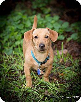 Dachshund Mix Puppy for adoption in San Jose, California - Boba