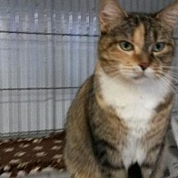 Domestic Shorthair Cat for adoption in Colfax, Illinois - Snipet?Reese