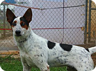 Cattle Dog Mix Dog for adoption in Shreveport, Louisiana - Cowboy