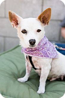 Chihuahua Mix Dog for adoption in Los Angeles, California - Michelle Pfieffur