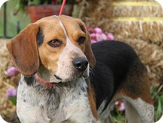 Beagle Mix Dog for adoption in Marietta, Ohio - Pup (Neutered)