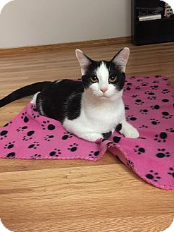 Domestic Shorthair Cat for adoption in Hampton, Illinois - Wobble
