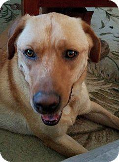 Labrador Retriever Mix Dog for adoption in Ogden, Utah - Whiskey